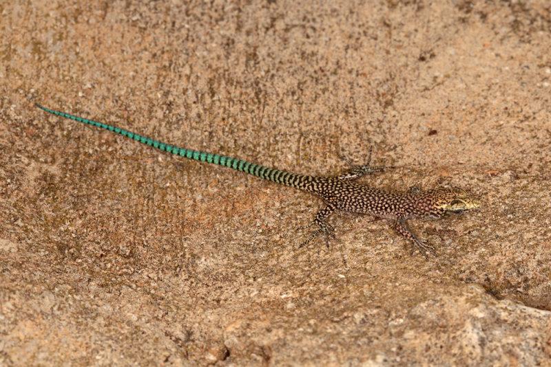 lizard camuflage - kuščar (IMG_3311m.jpg)