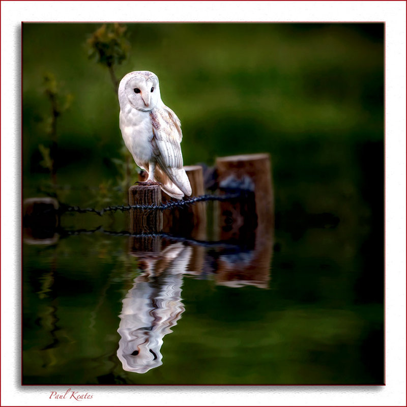 Barn-Owl-Reflection.jpg