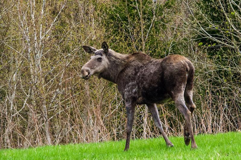 European Elk   /  Elg