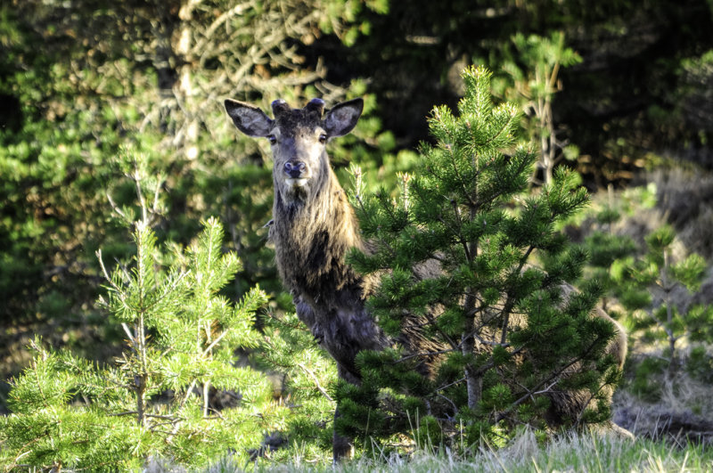 Deer .