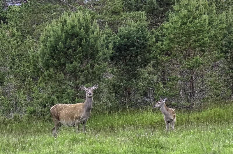 Deer: Cow with calf.
