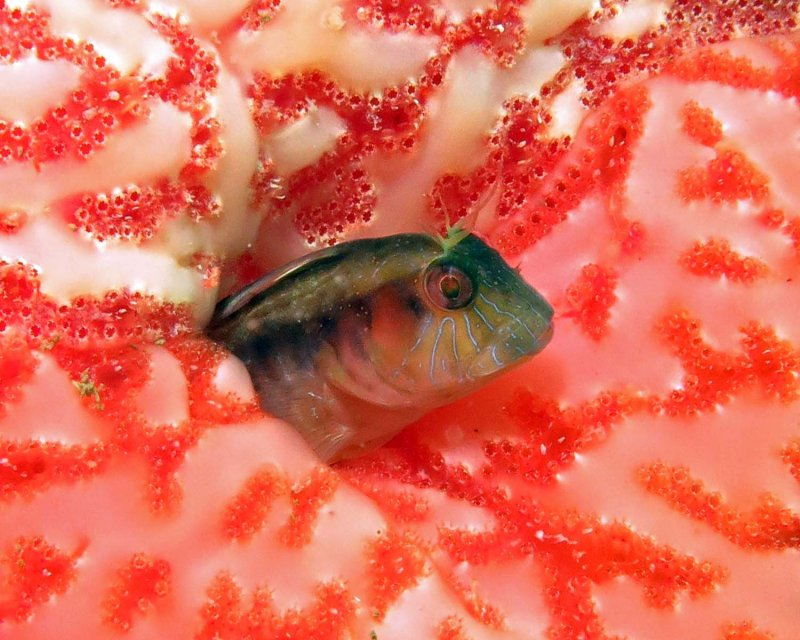 Seaweed Blenny in tunicate colony