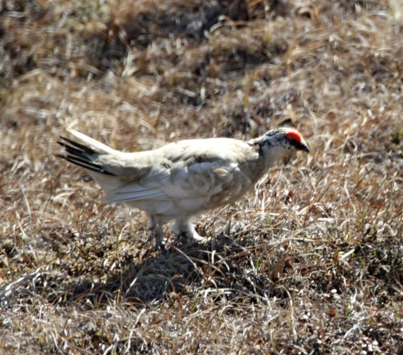 #92 Rock Ptarmigan - male molting_3608.jpg