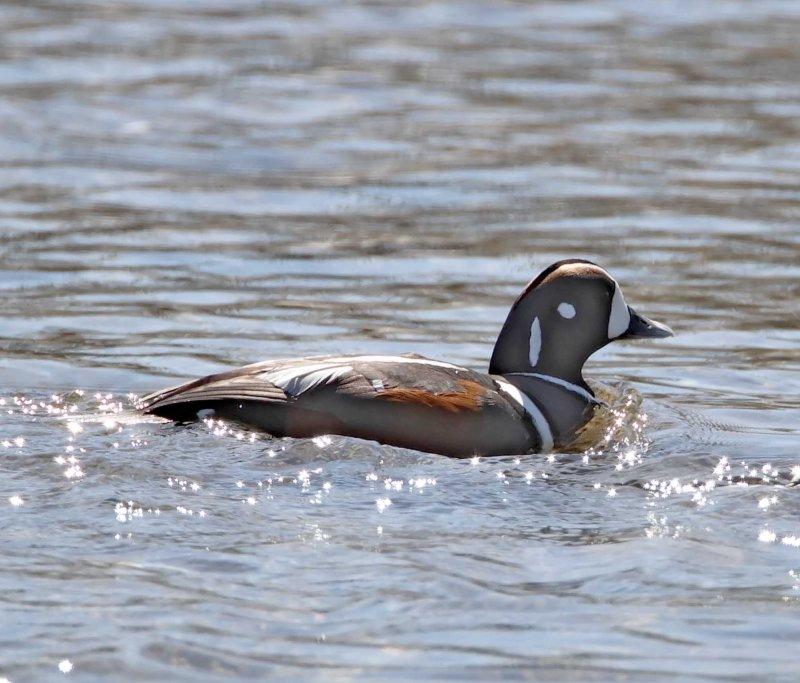 #75 Harlequin Duck - male_3840.jpg