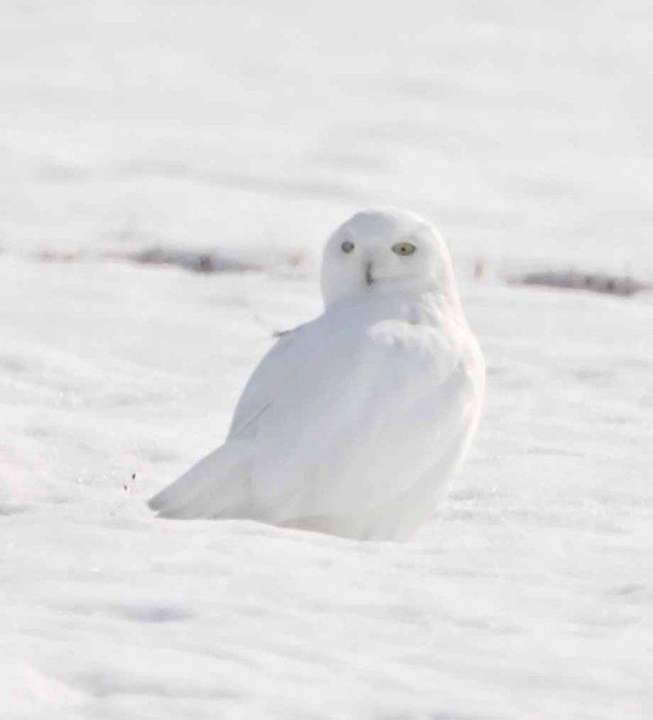 #47 Snowy Owl_4245.jpg