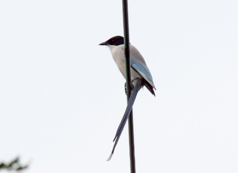 Azure-winged Magpie_5402.jpg