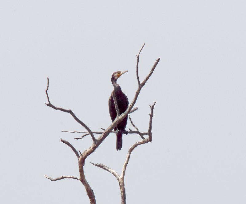 Great Cormorant - adult non-breeding_5207.jpg