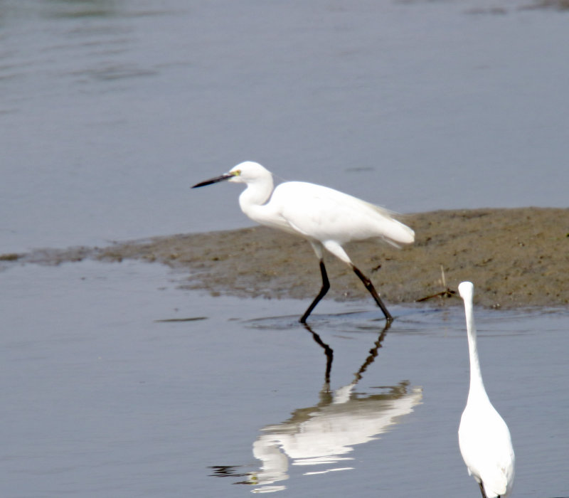 Little Egret_4983.jpg