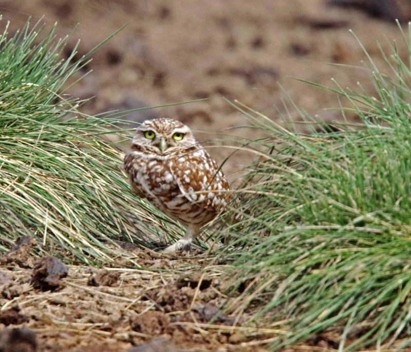 Burrowing Owl_5798.jpg
