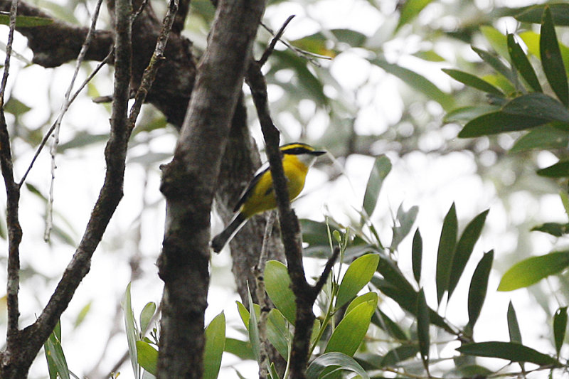 Yellow-breasted Boatbill - Kuranda 7277.jpg