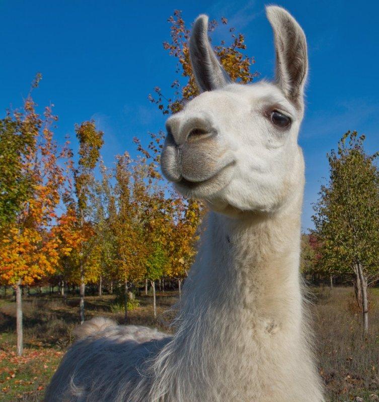 Friendly Lama