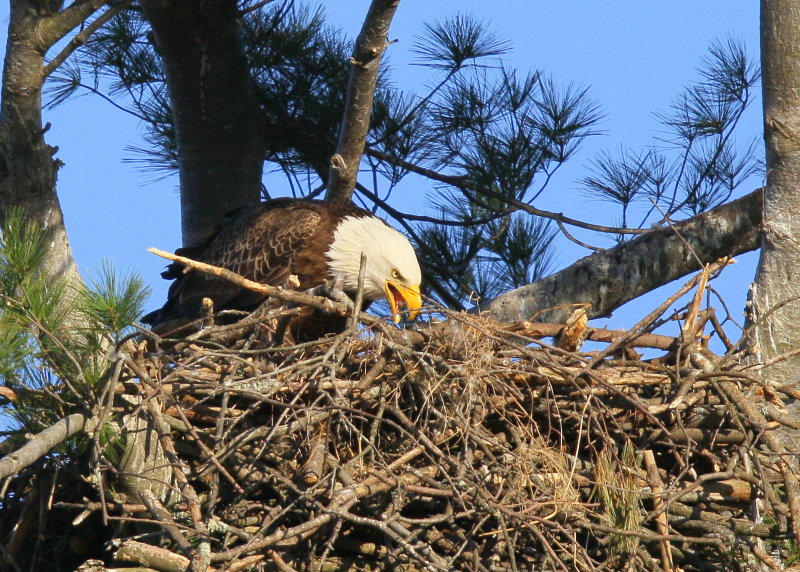 Bald Eagle, adult in nest feeding chick