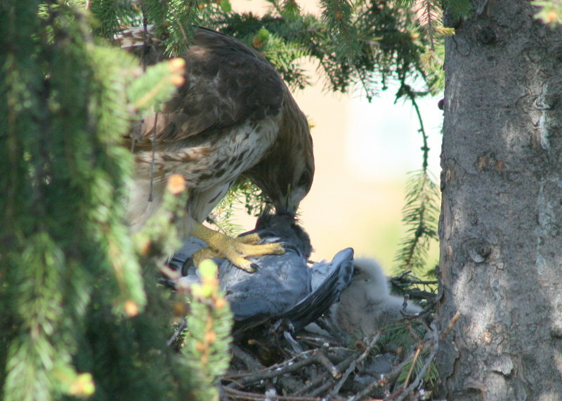 Red-tailed Hawk, female mantling pigeon and feeding chick