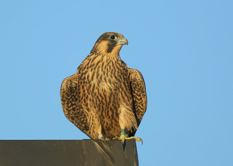 Peregrine fledgling: last to fledge, first flight today!  93/AD leg bands