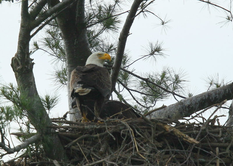 Bald Eagle adult with nestling behind