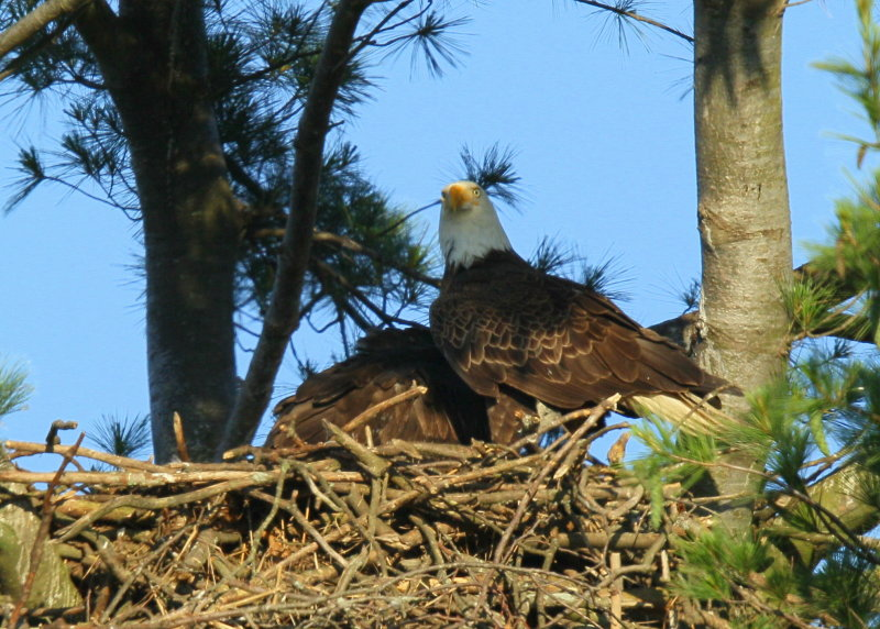 Bald Eagle and chick at feeding time