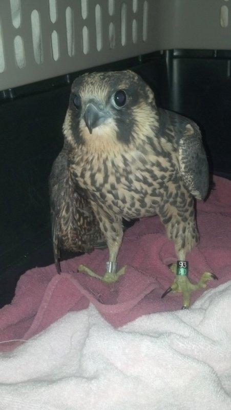 Peregrine Falcon female fledgling, 93/AD