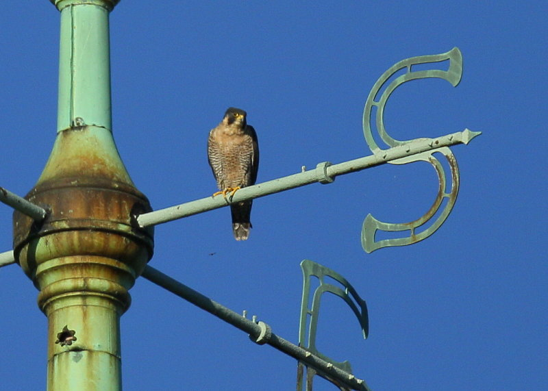 Peregrine Falcon, adult female perched on weathervane