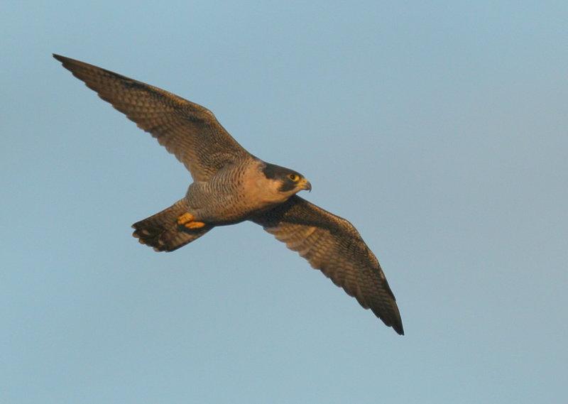 Peregrine Falcon, female (leg band V/5)