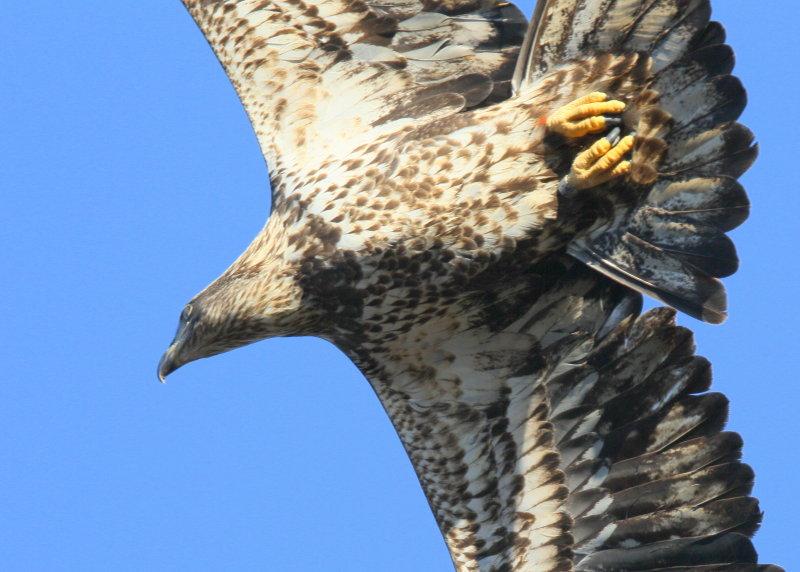 Bald Eagle, subadult, II