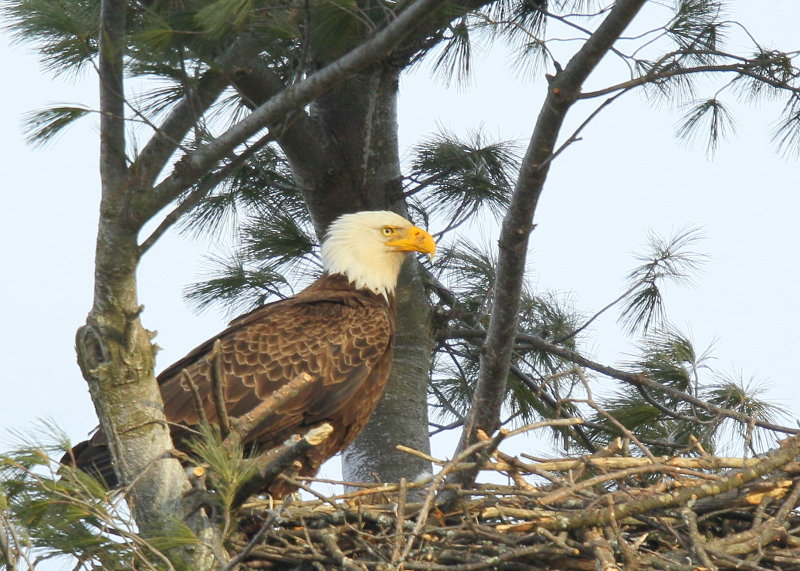 Bald Eagle, adult at nest