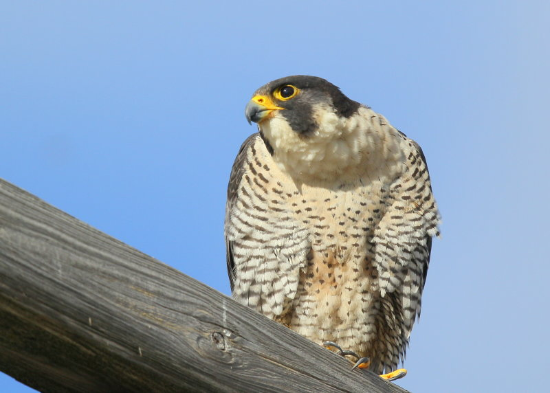 Peregrine Falcon, adult female (leg bands V/5)