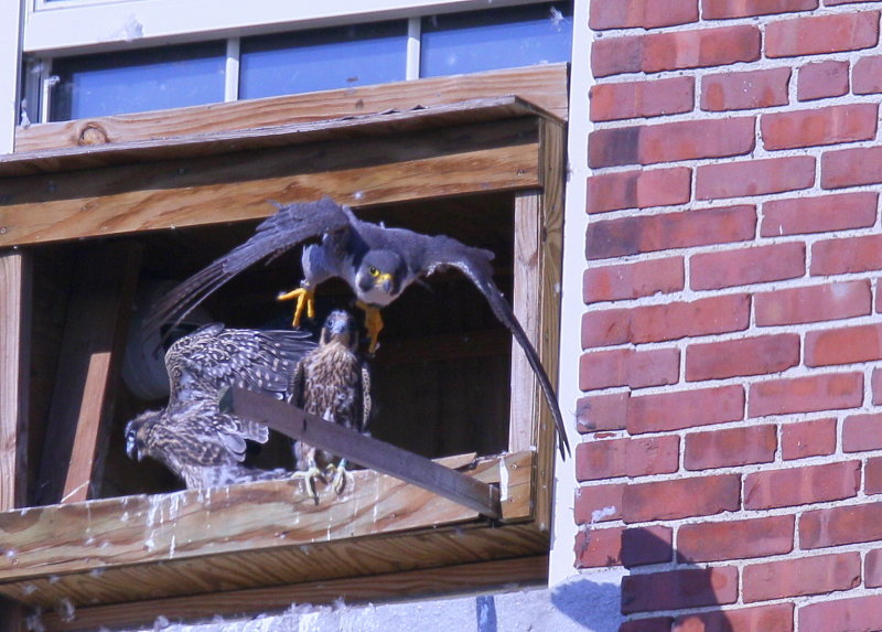 Peregrine chicks in nest box days away from fledging!