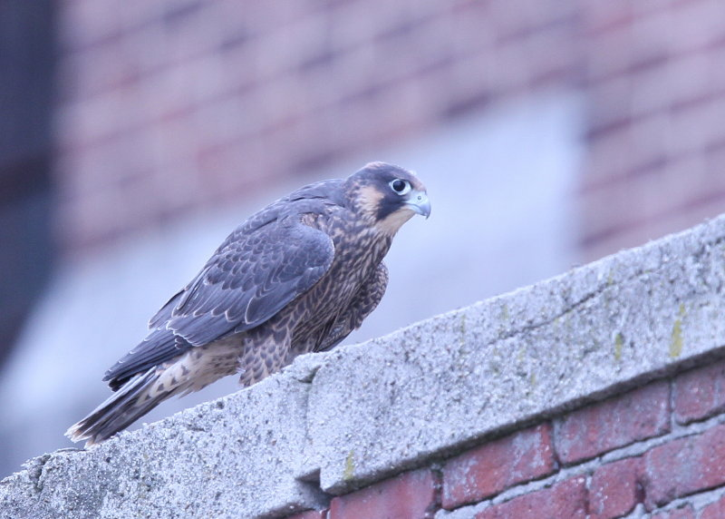 Peregrine Falcon fledgling (leg band 59/BD)