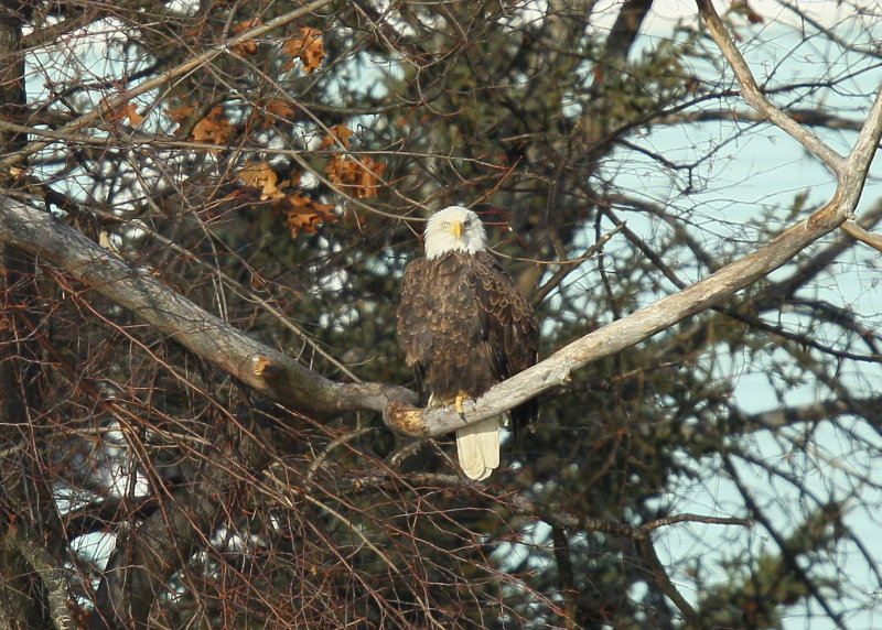 Bald Eagle, adult with transmitter and antenna (leg band)