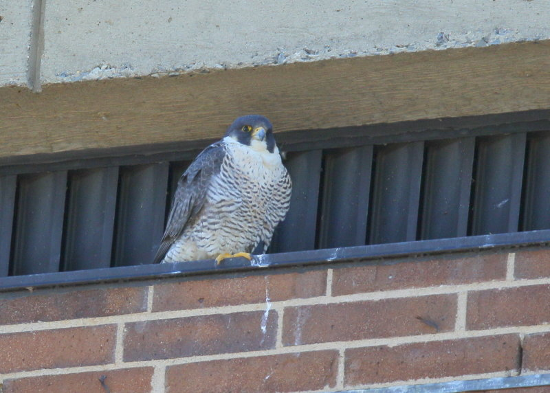 Peregrine Falcon, female