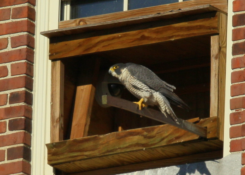 Peregrine Falcon, female awaiting male, courtship mode