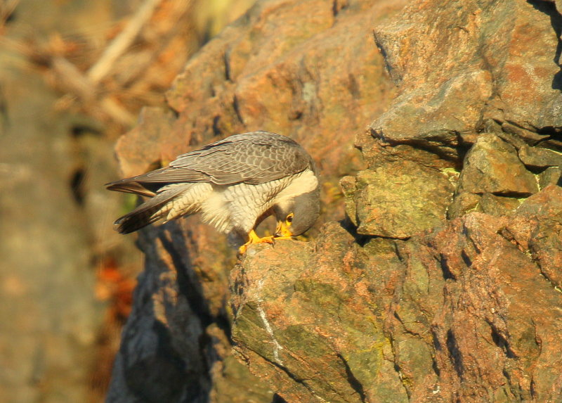 Peregrine Falcon, adult male, unbanded