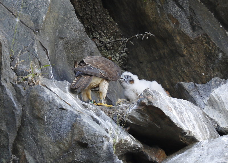 Peregrine Falcon chick being fed by mother