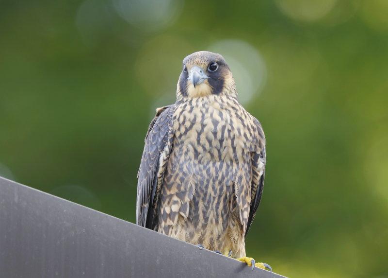 Peregrine Falcon HY16 fledgling