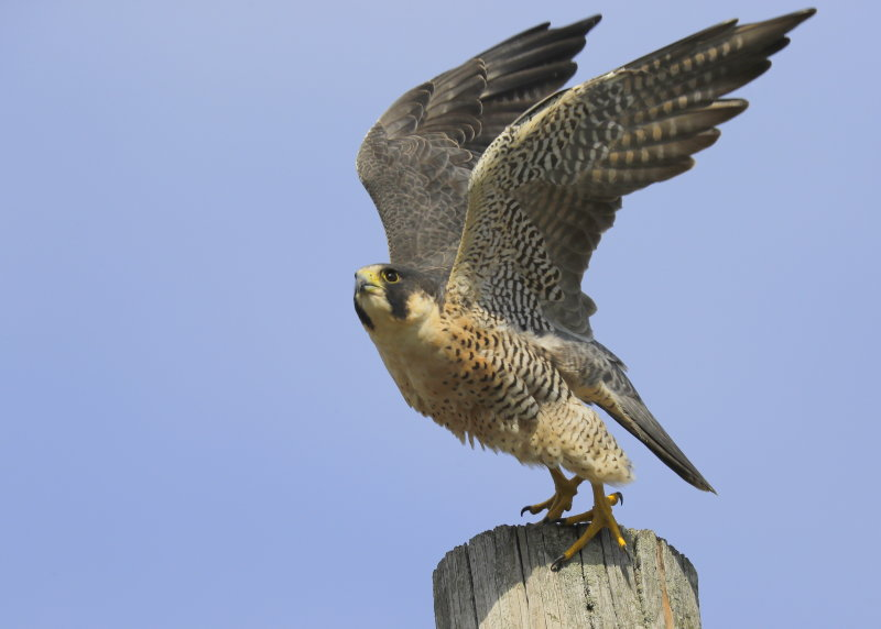 Peregrine Falcon, male (unabanded)