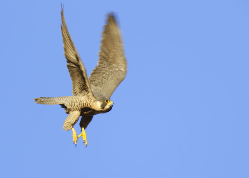 Peregrine Falcon, unbanded female