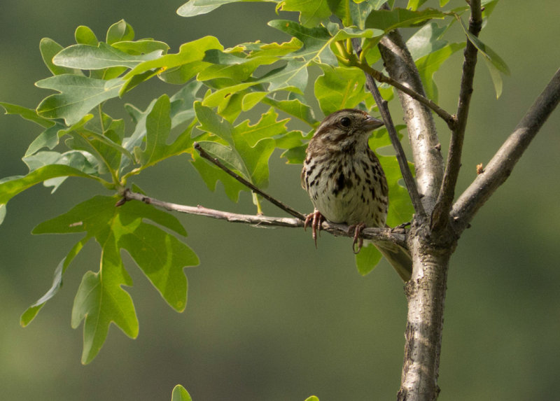 _1080881 Song Sparrow at Beaver Lake
