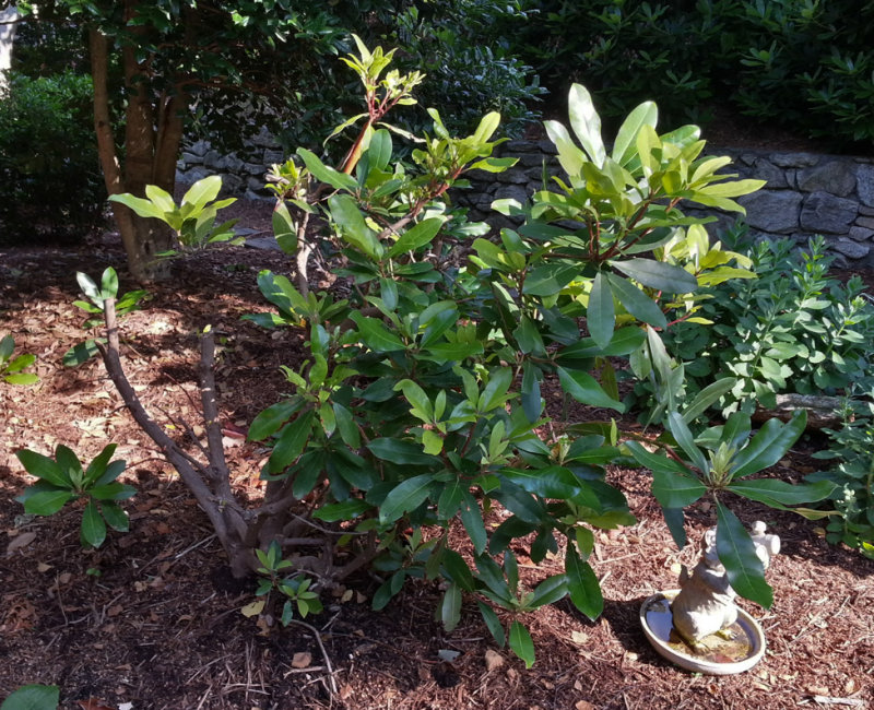 Severely Pruned Rhododendron