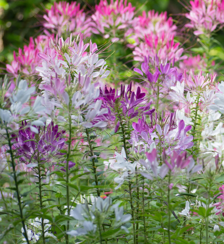 _1090057 Crowd of Cleome