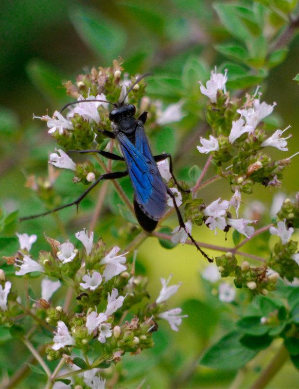 _109041 Mud Dauber Wasp on Oregano Blossoms