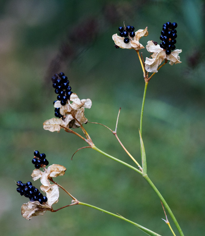 _MG_8949 Blackberry Lily Seeds