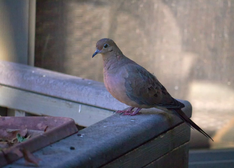 _1100816 Early Morning Dove