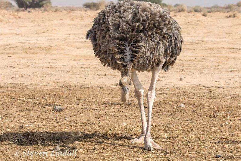 Ostrich - Female