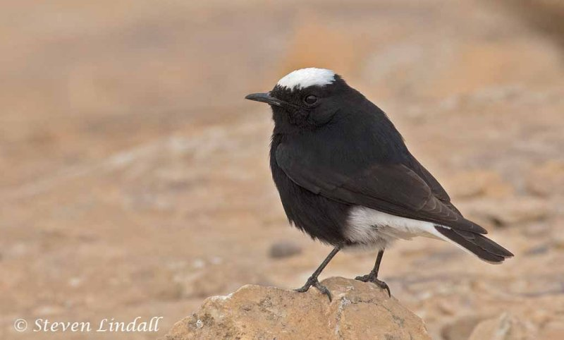 White Crowned Black Wheatear