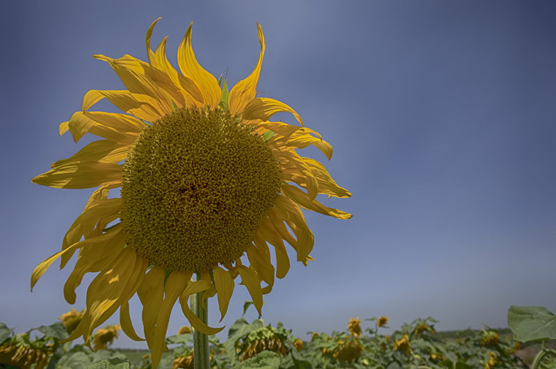 sunflower 2.jpg