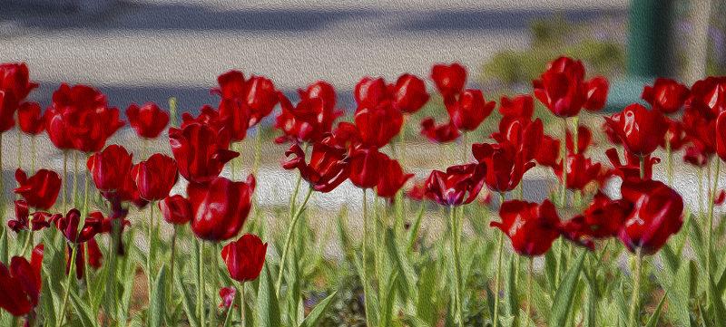 Winter Tulips Canvas.
