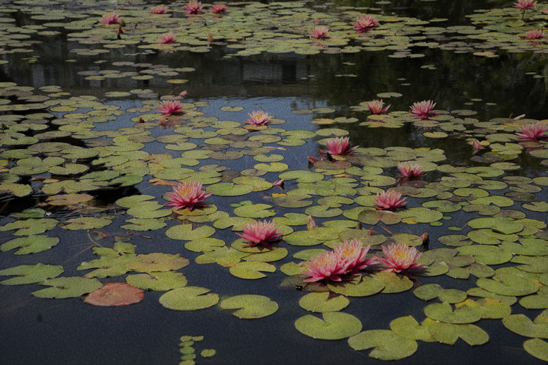 Water Lily Pool in the Piazza of Tel Aviv Municipality.