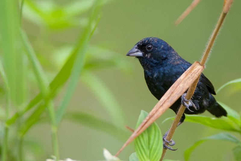 blue-black grassquit<br><i>(Volatinia jacarina, NL:  jacarina-gors)</i>