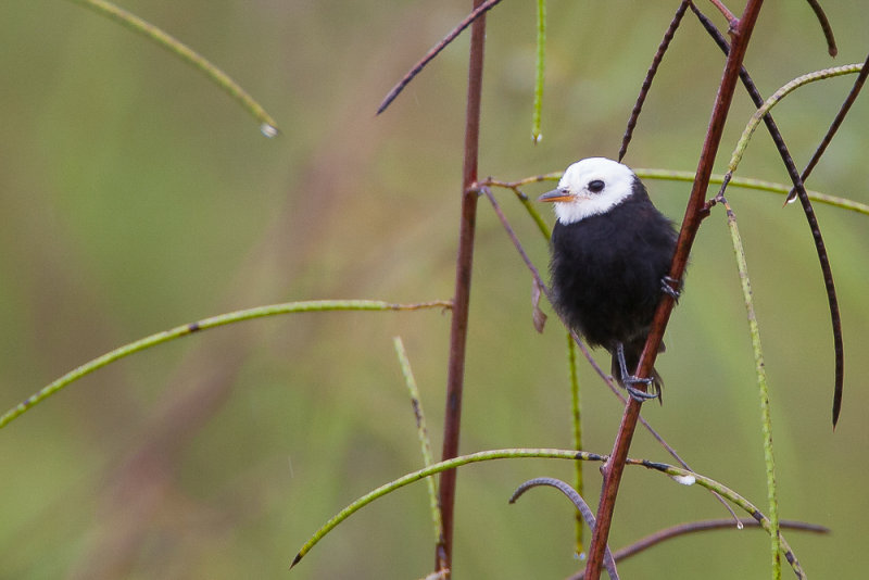 white-headed marsh tyrant<br><i>(Arundinicola leucocephala, NL:  witkopwatertiran)</i>