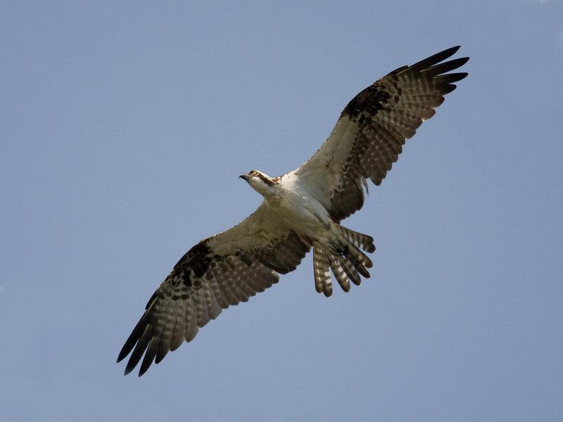 osprey<br><i>(Pandion haliaetus, NL: visarend)</i>